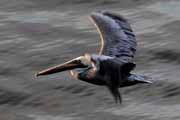 pelik�n hn�d� - brown pelican - pelecanus occidentalis